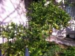 An edible garden, Pitt St, Redfern