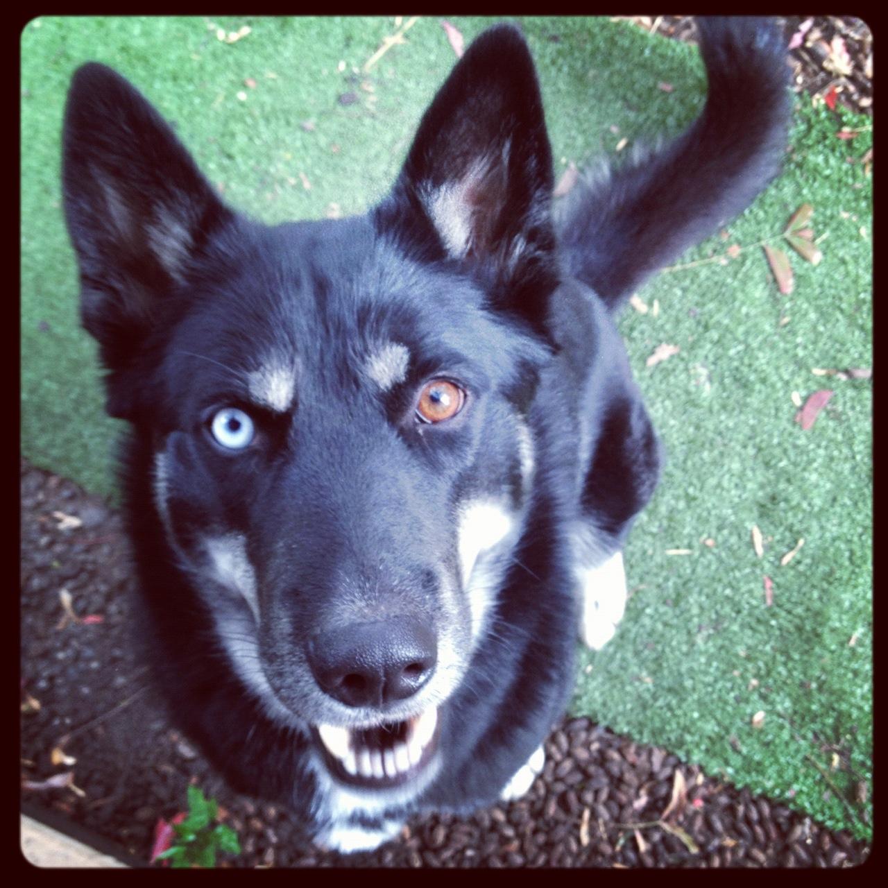 Black German Shepherd with Blue Eyes